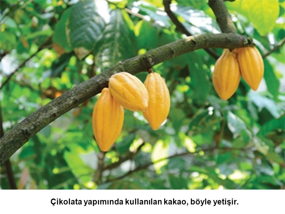 Çikolata yapımında kullanılan kakao, böyle yetişir.