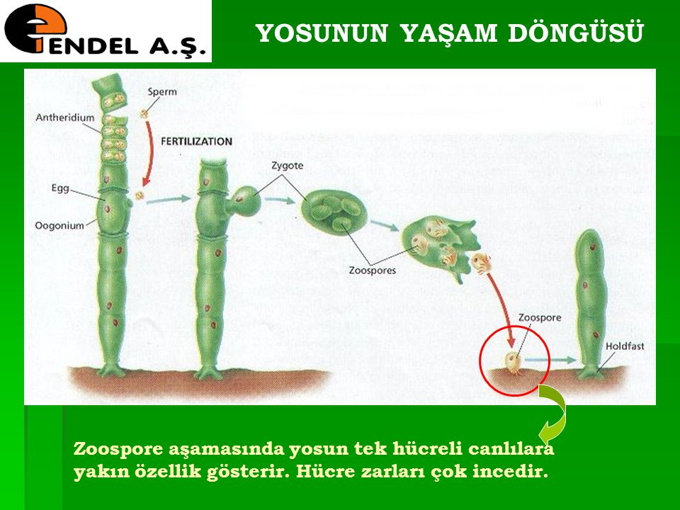 YOSUNUN YAŞAM DÖNGÜSÜ Zoospore aşamasında yosun tek hücreli canlılara yakın özellik gösterir.