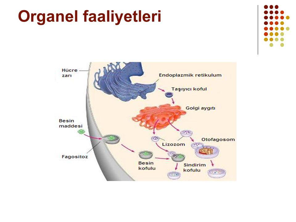 Organel faaliyetleri