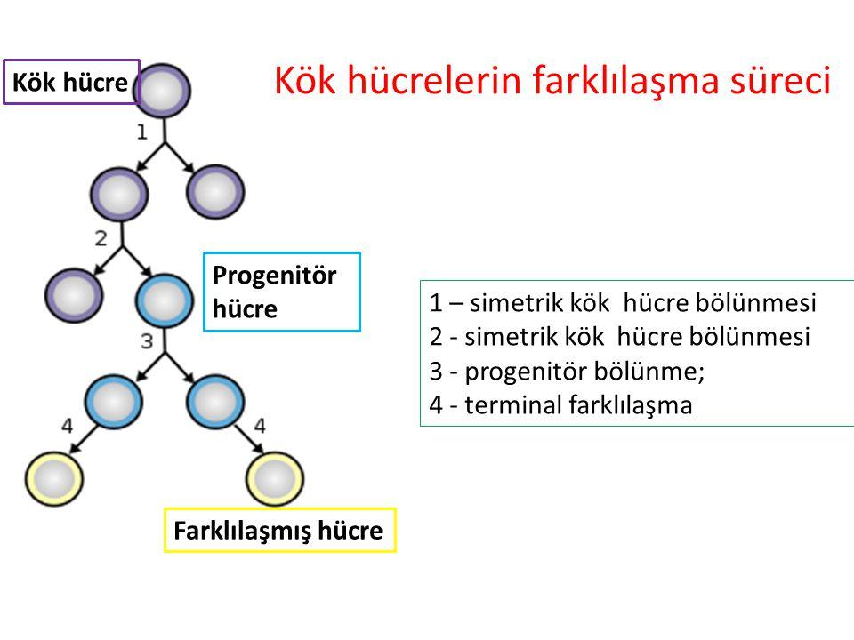 Kök hücrelerin farklılaşma süreci