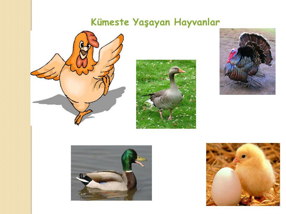 Kümeste Yaşayan Hayvanlar