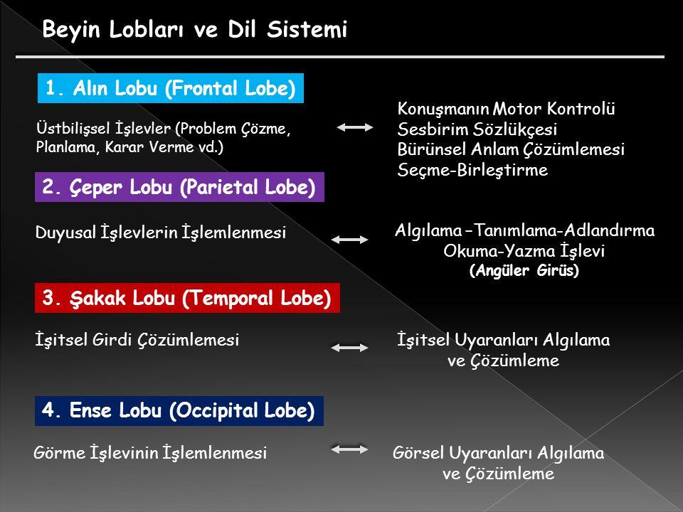 Beyin Lobları ve Dil Sistemi