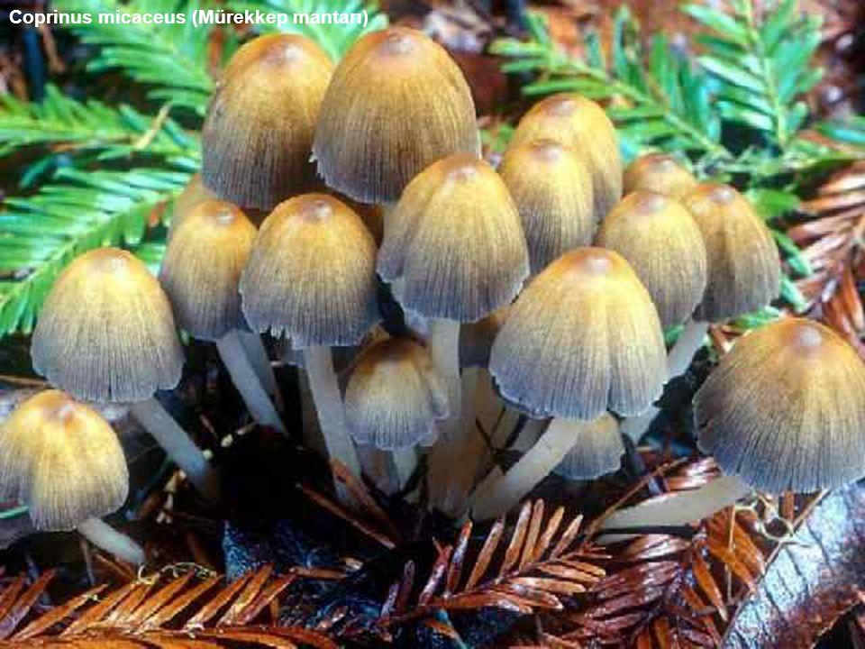 Coprinus micaceus (Mürekkep mantarı)