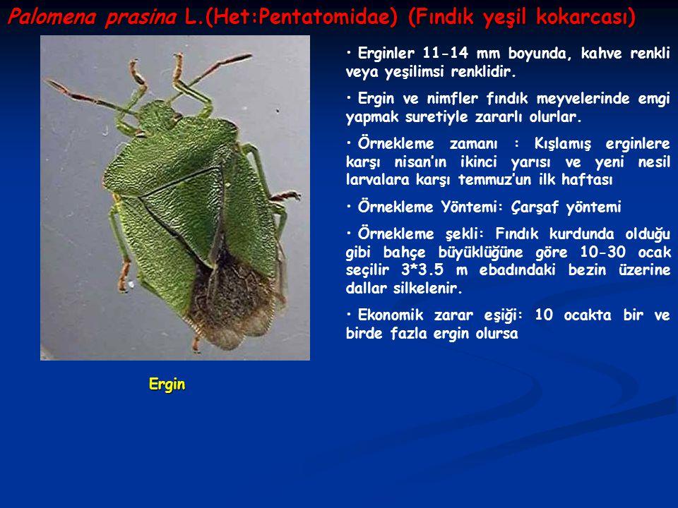 Palomena prasina L.(Het:Pentatomidae) (Fındık yeşil kokarcası)