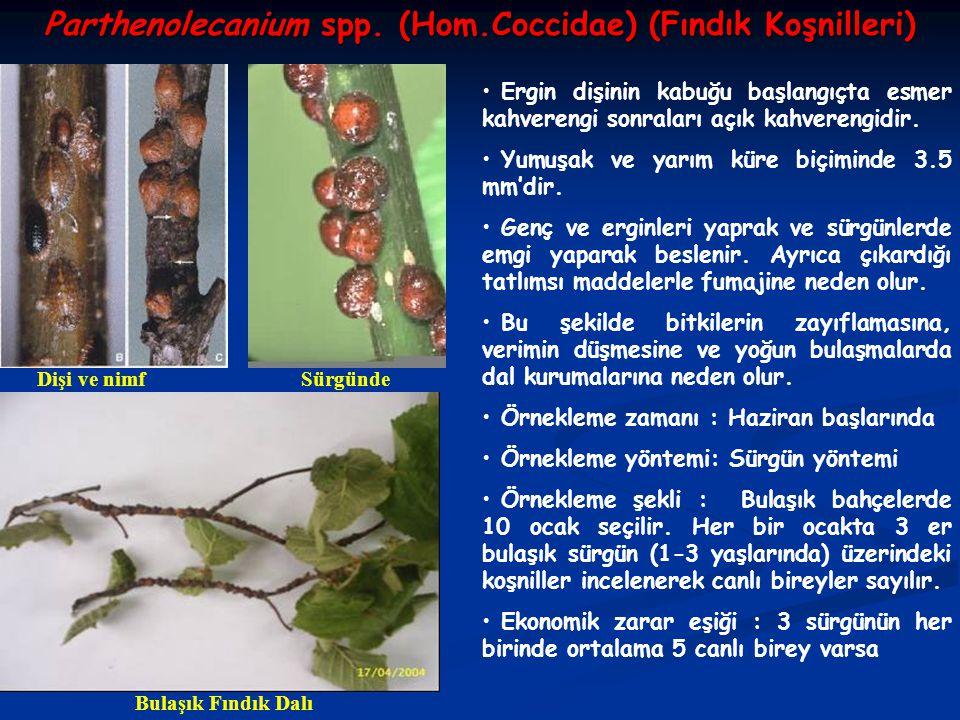 Parthenolecanium spp. (Hom.Coccidae) (Fındık Koşnilleri)