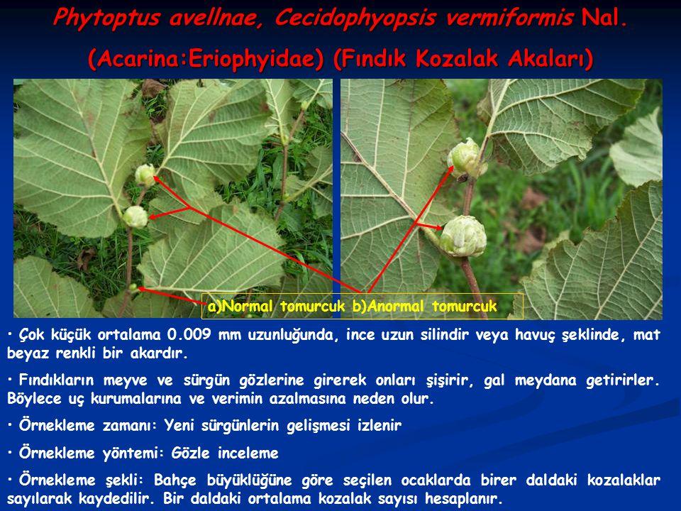 Phytoptus avellnae, Cecidophyopsis vermiformis Nal.