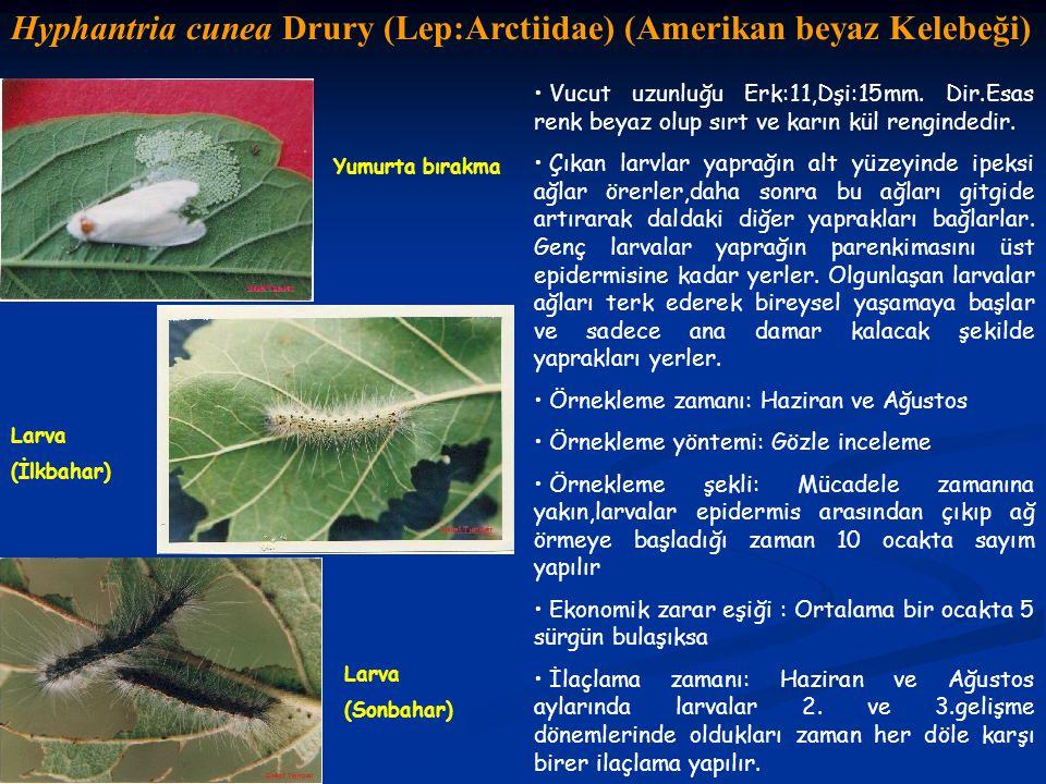 Hyphantria cunea Drury (Lep:Arctiidae) (Amerikan beyaz Kelebeği)
