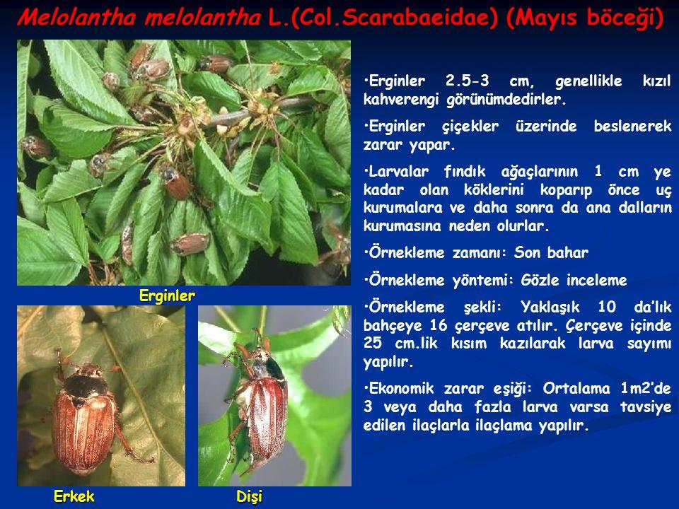 Melolantha melolantha L.(Col.Scarabaeidae) (Mayıs böceği)