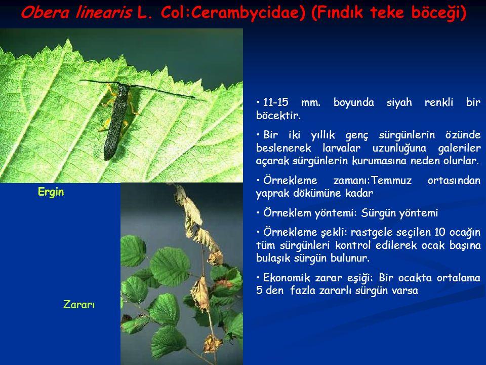 Obera linearis L. Col:Cerambycidae) (Fındık teke böceği)