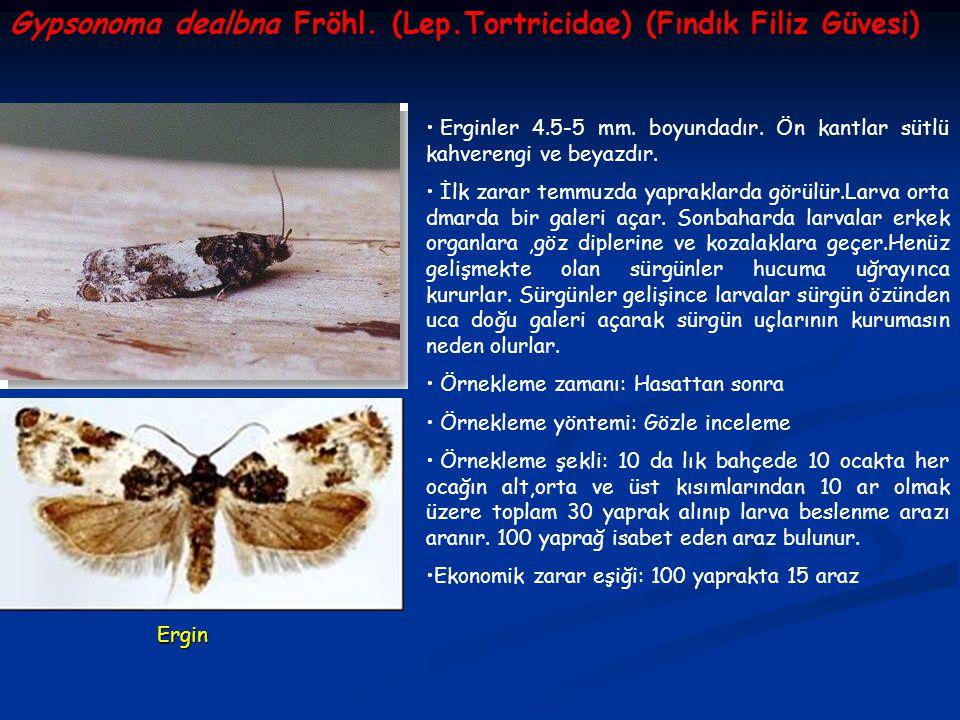 Gypsonoma dealbna Fröhl. (Lep.Tortricidae) (Fındık Filiz Güvesi)