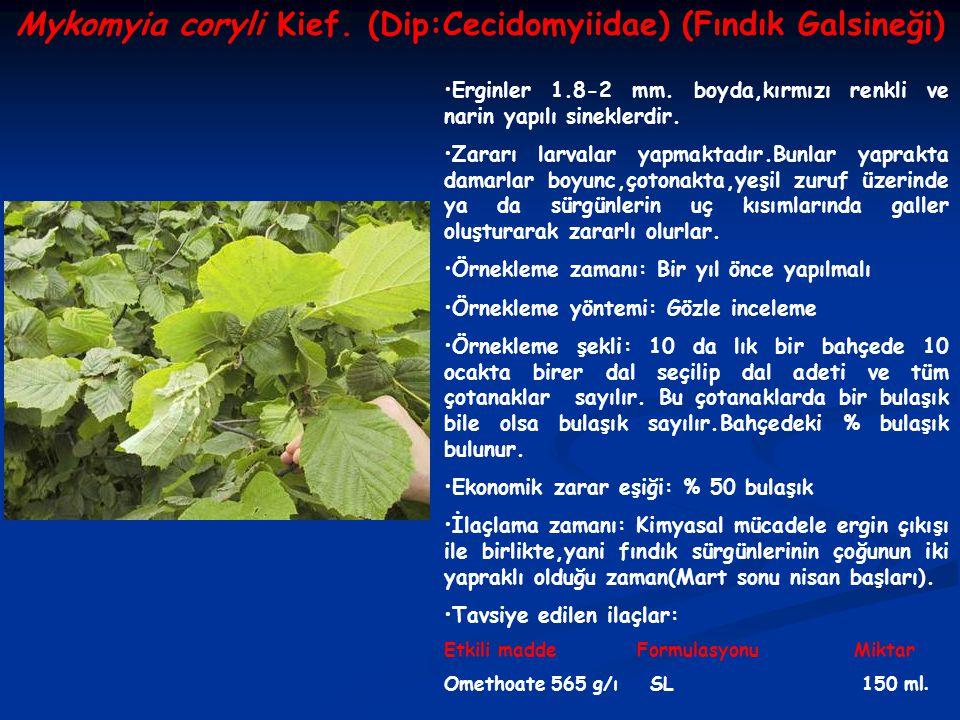 Mykomyia coryli Kief. (Dip:Cecidomyiidae) (Fındık Galsineği)