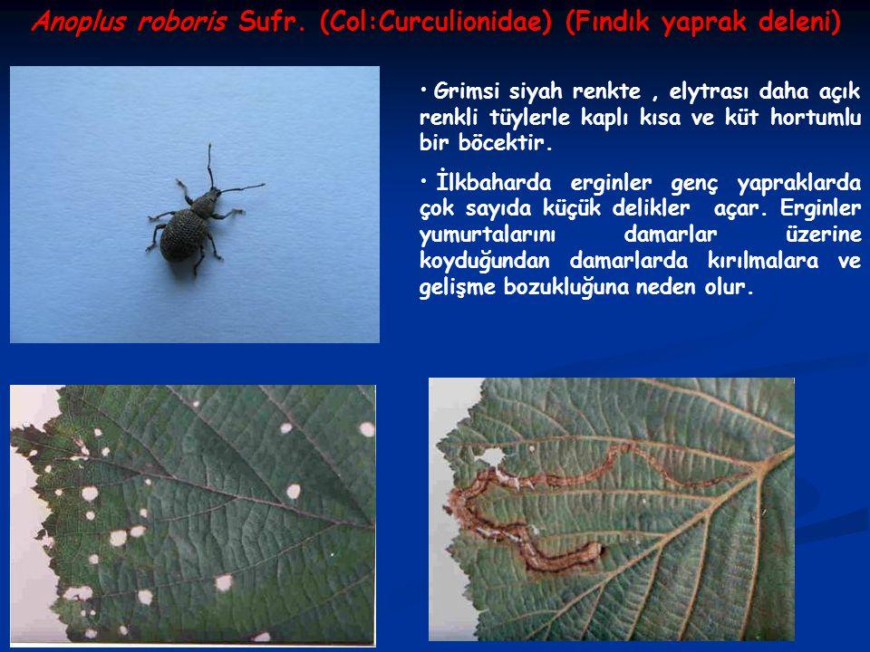 Anoplus roboris Sufr. (Col:Curculionidae) (Fındık yaprak deleni)