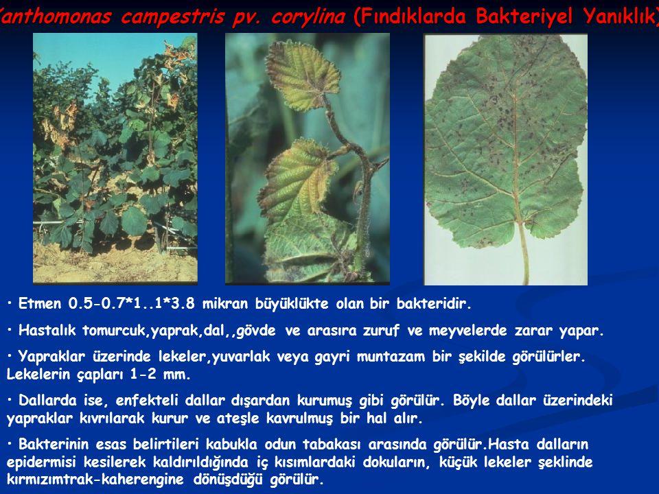 Xanthomonas campestris pv. corylina (Fındıklarda Bakteriyel Yanıklık)