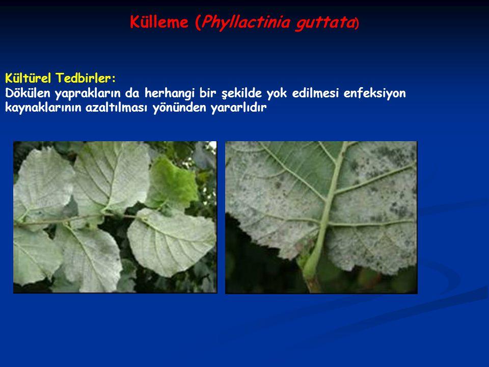 Külleme (Phyllactinia guttata)