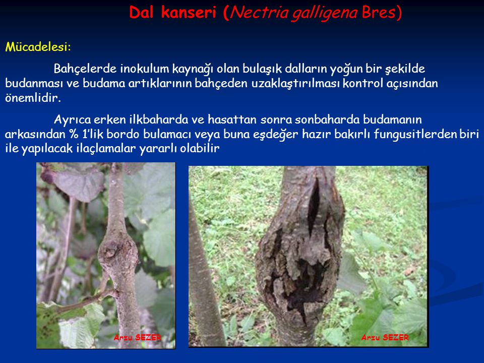 Dal kanseri (Nectria galligena Bres)