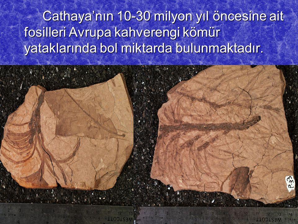 Cathaya'nın 10-30 milyon yıl öncesine ait fosilleri Avrupa kahverengi kömür yataklarında bol miktarda bulunmaktadır.