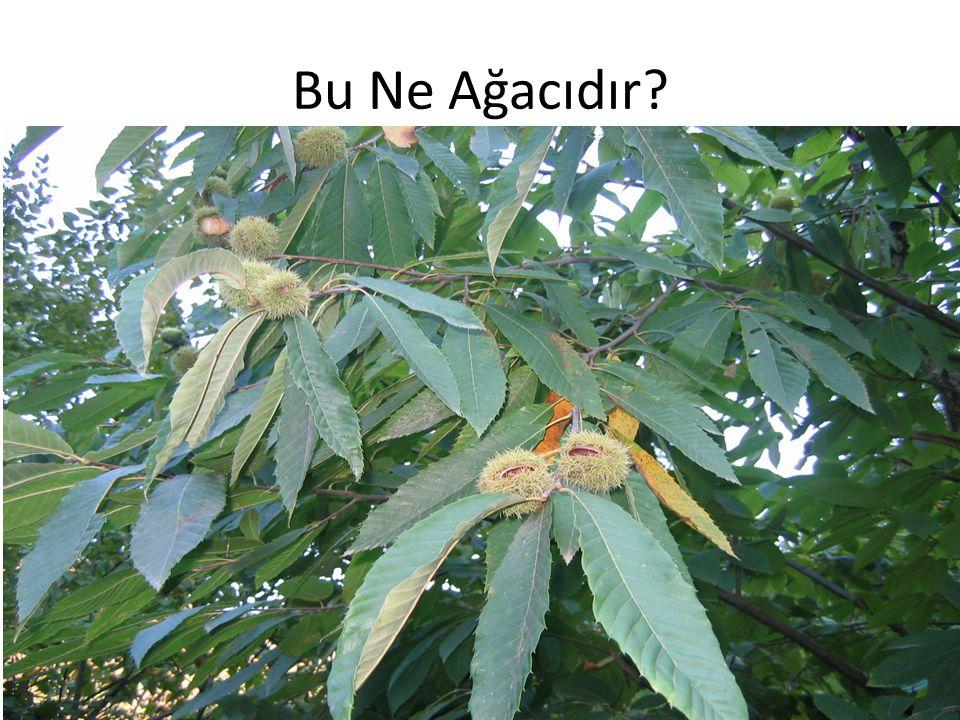 Bu Ne Ağacıdır