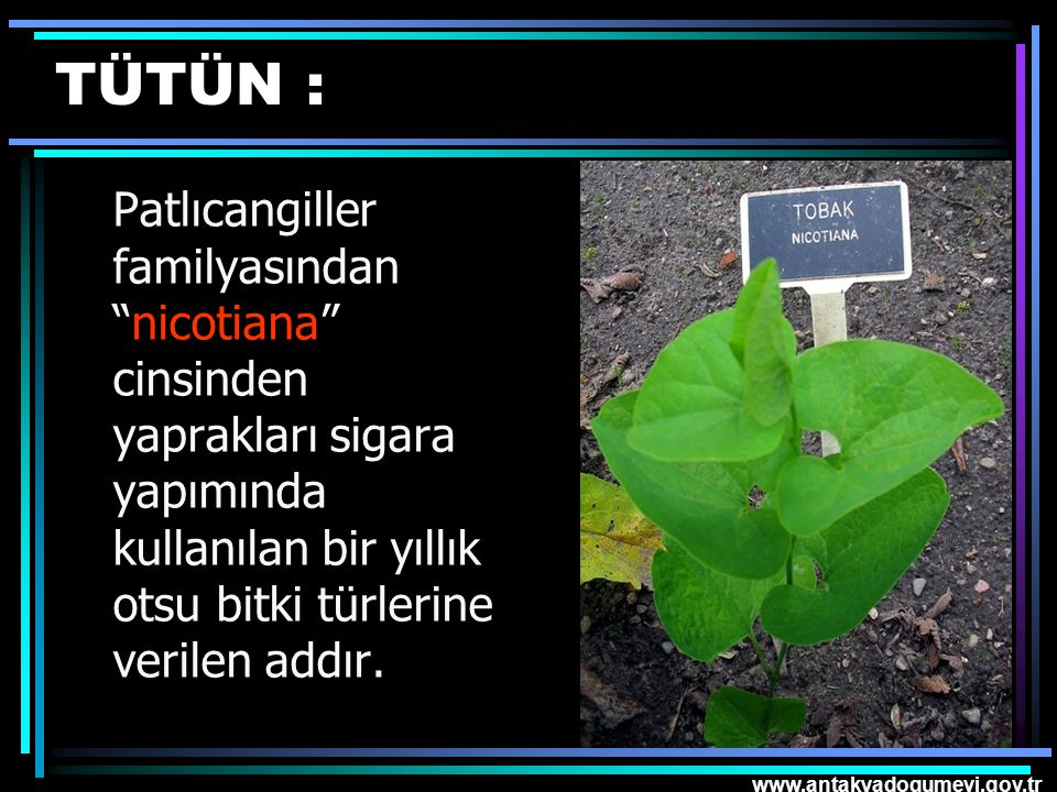 TÜTÜN : Patlıcangiller familyasından nicotiana cinsinden yaprakları sigara yapımında kullanılan bir yıllık otsu bitki türlerine verilen addır.