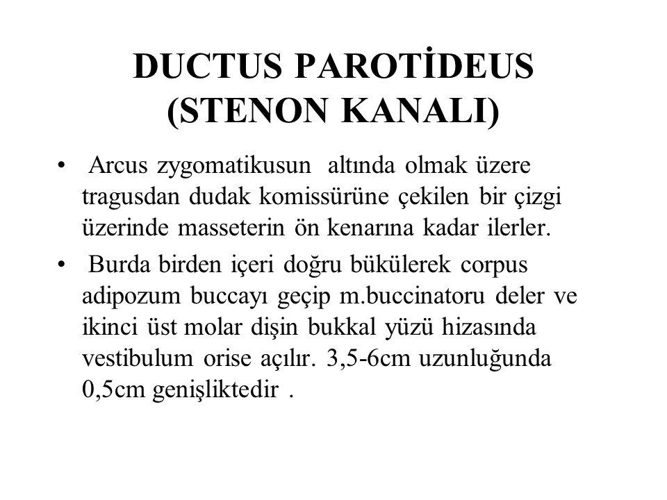 DUCTUS PAROTİDEUS (STENON KANALI)