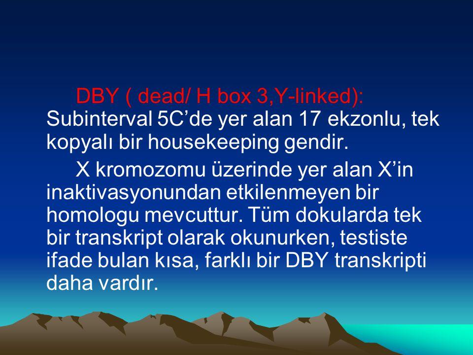 DBY ( dead/ H box 3,Y-linked): Subinterval 5C'de yer alan 17 ekzonlu, tek kopyalı bir housekeeping gendir.
