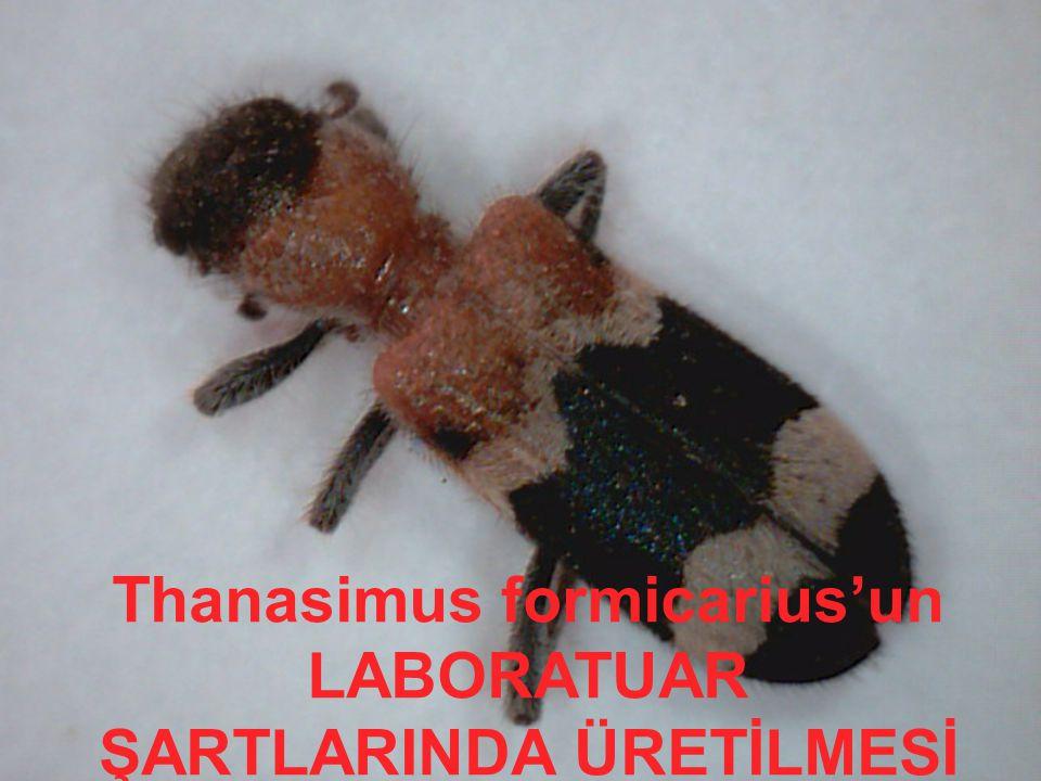 Thanasimus formicarius'un LABORATUAR ŞARTLARINDA ÜRETİLMESİ