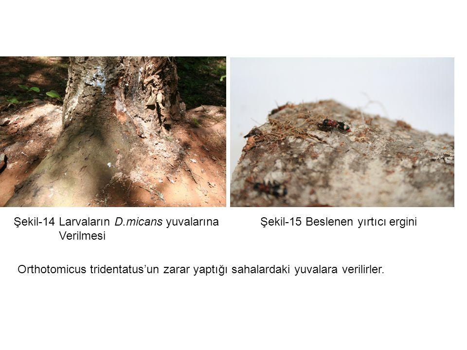 Şekil-14 Larvaların D.micans yuvalarına