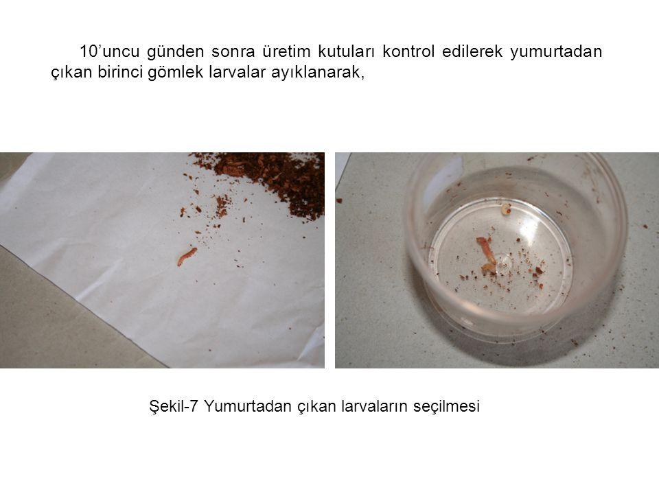 10'uncu günden sonra üretim kutuları kontrol edilerek yumurtadan çıkan birinci gömlek larvalar ayıklanarak,