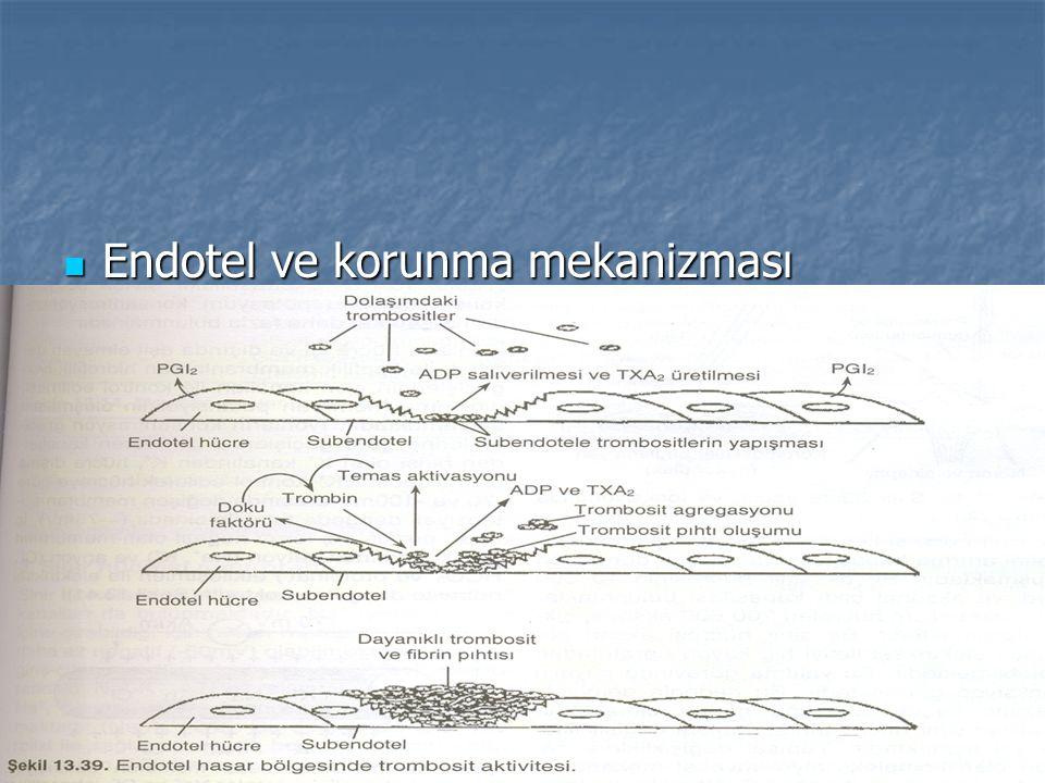 Endotel ve korunma mekanizması