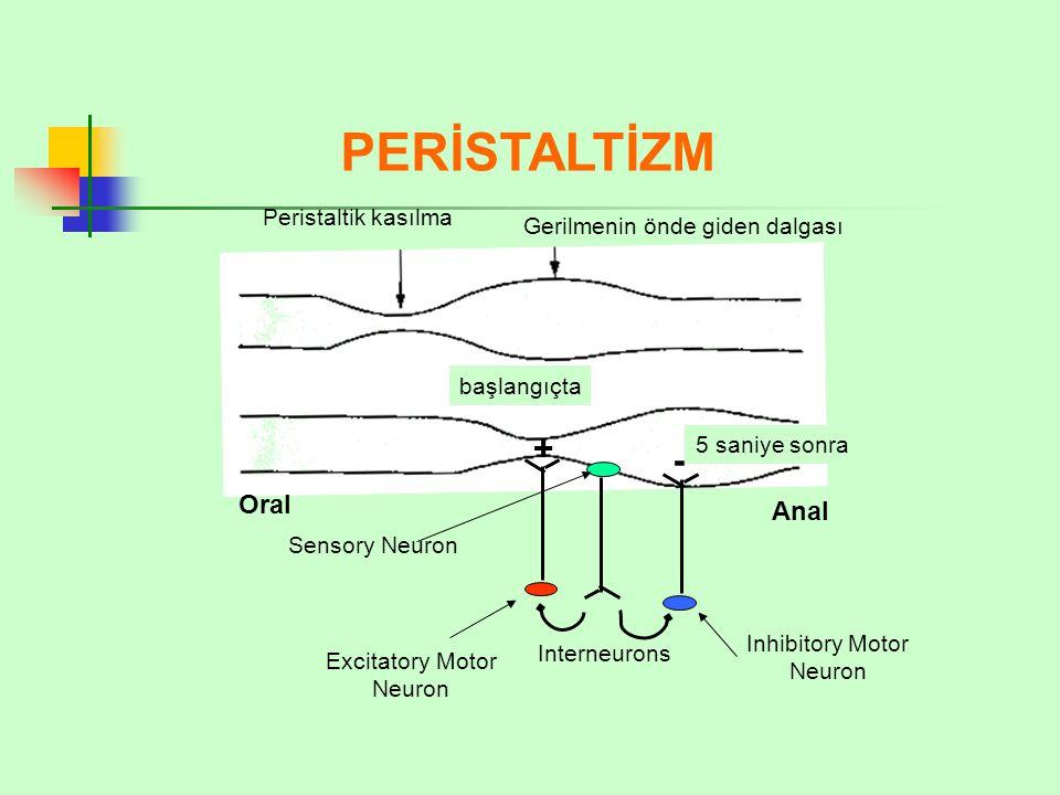 PERİSTALTİZM + - Oral Anal Peristaltik kasılma