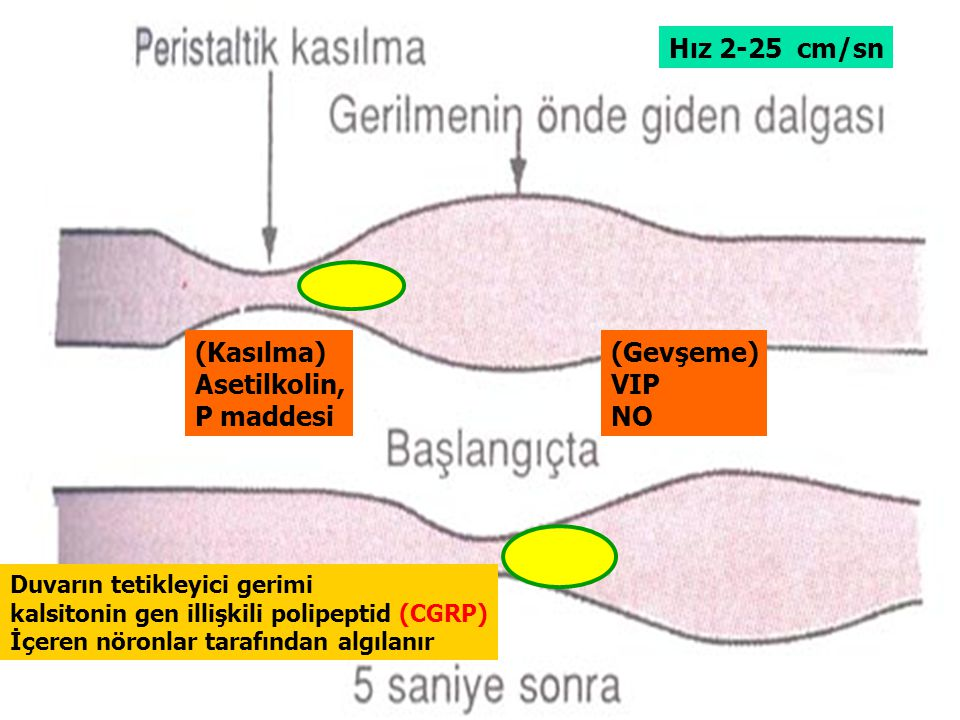 Hız 2-25 cm/sn (Kasılma) Asetilkolin, P maddesi (Gevşeme) VIP NO