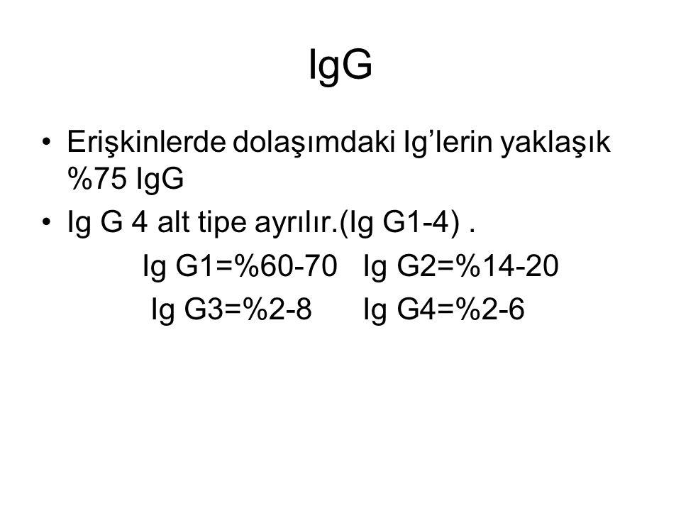 IgG Erişkinlerde dolaşımdaki Ig'lerin yaklaşık %75 IgG