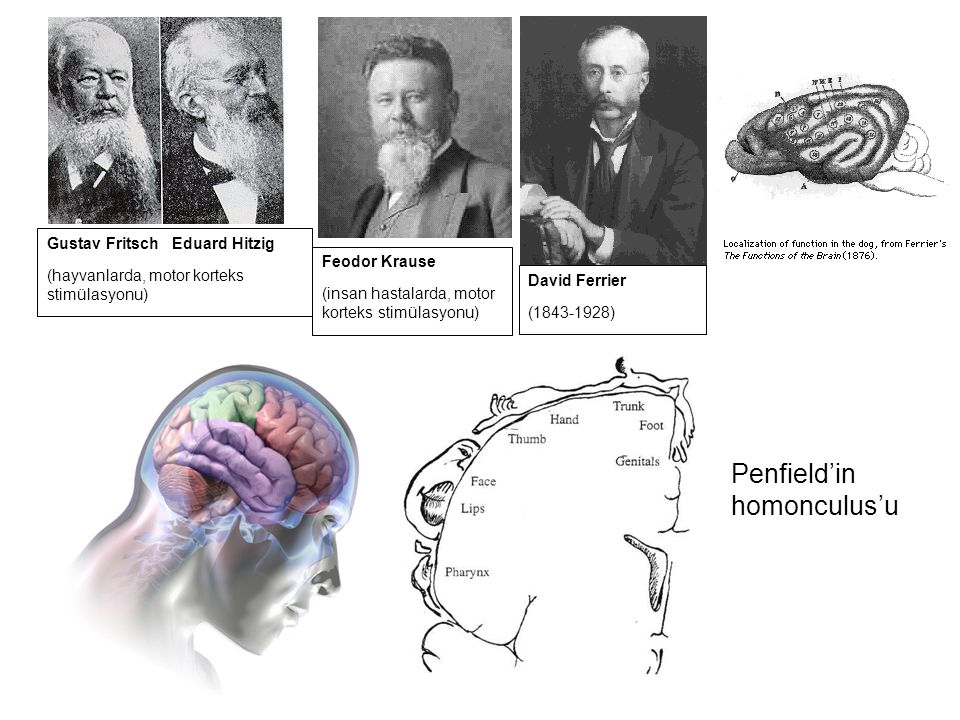 Penfield'in homonculus'u Gustav Fritsch Eduard Hitzig