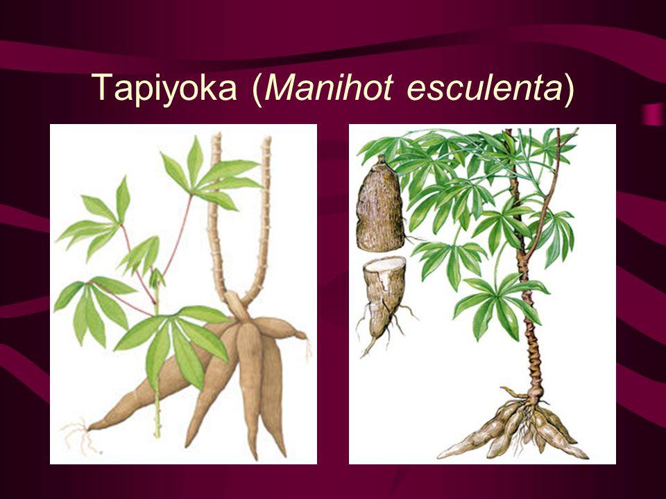 Tapiyoka (Manihot esculenta)