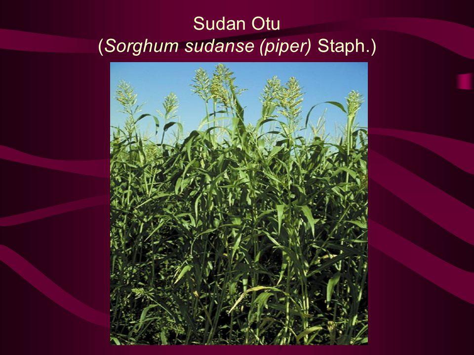 Sudan Otu (Sorghum sudanse (piper) Staph.)