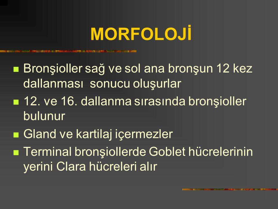 MORFOLOJİ Bronşioller sağ ve sol ana bronşun 12 kez dallanması sonucu oluşurlar. 12. ve 16. dallanma sırasında bronşioller bulunur.