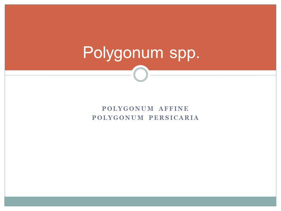 Polygonum spp. Polygonum affine Polygonum persicaria