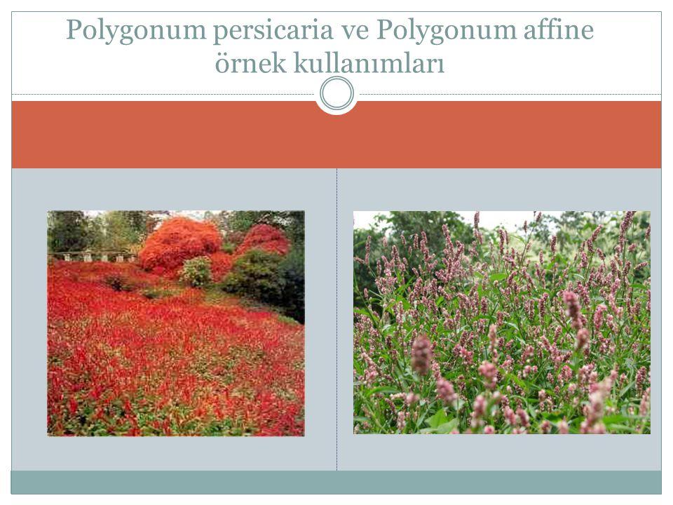 Polygonum persicaria ve Polygonum affine örnek kullanımları