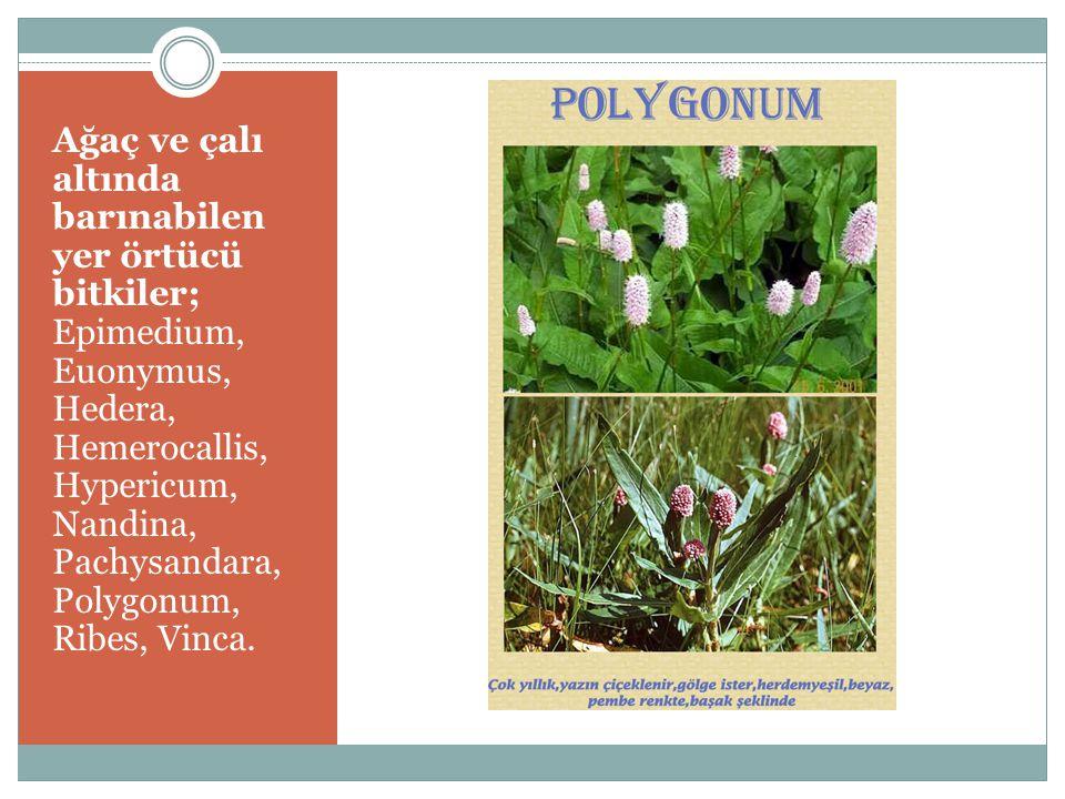 Ağaç ve çalı altında barınabilen yer örtücü bitkiler; Epimedium, Euonymus, Hedera, Hemerocallis, Hypericum, Nandina, Pachysandara, Polygonum, Ribes, Vinca.