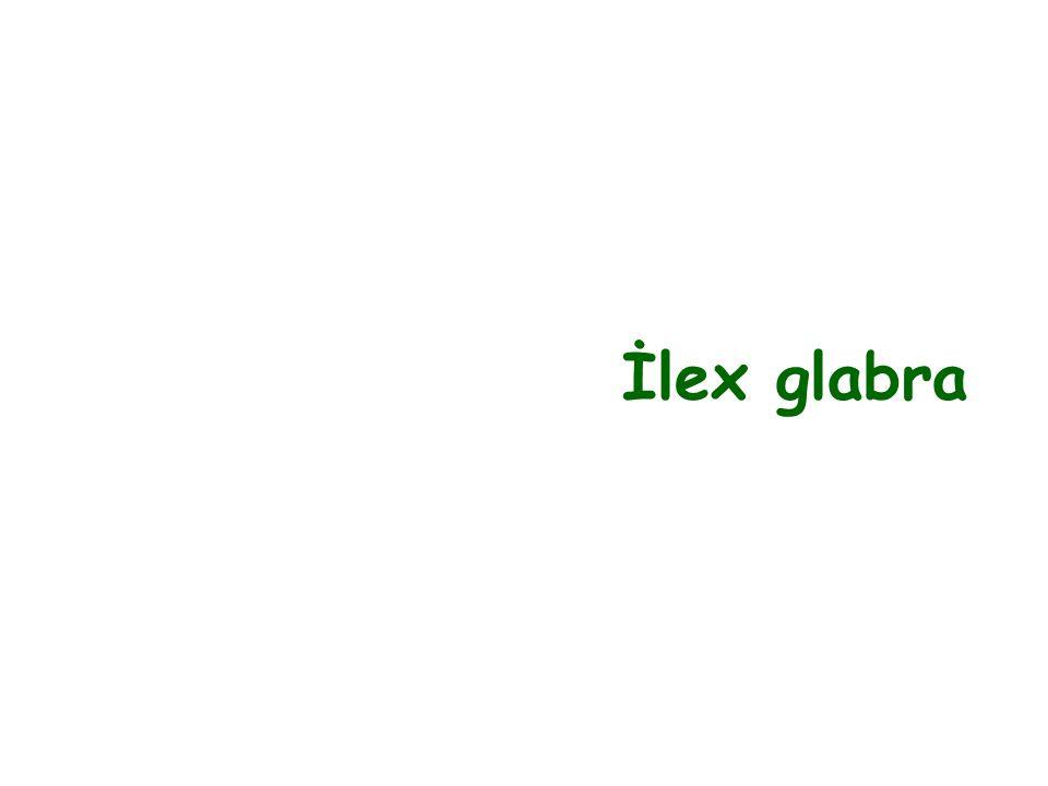 İlex glabra