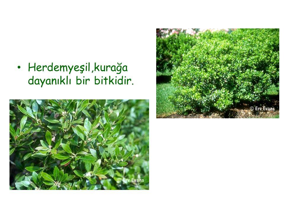 Herdemyeşil,kurağa dayanıklı bir bitkidir.