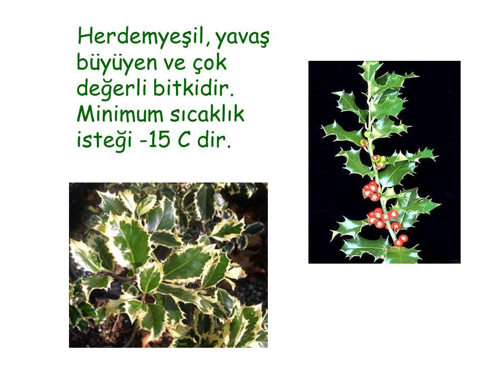 Herdemyeşil, yavaş büyüyen ve çok değerli bitkidir