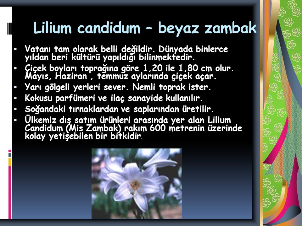 Lilium candidum – beyaz zambak