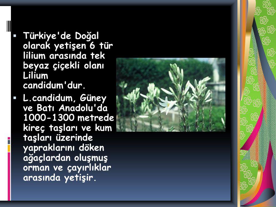 Türkiye de Doğal olarak yetişen 6 tür lilium arasında tek beyaz çiçekli olanı Lilium candidum dur.