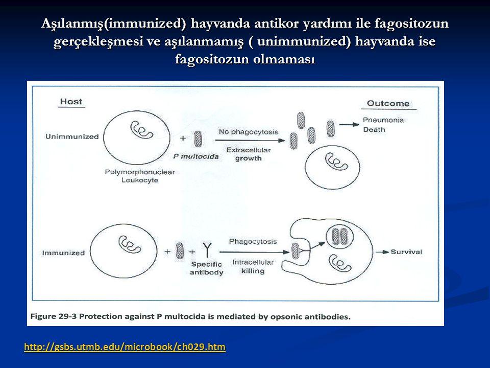 Aşılanmış(immunized) hayvanda antikor yardımı ile fagositozun gerçekleşmesi ve aşılanmamış ( unimmunized) hayvanda ise fagositozun olmaması