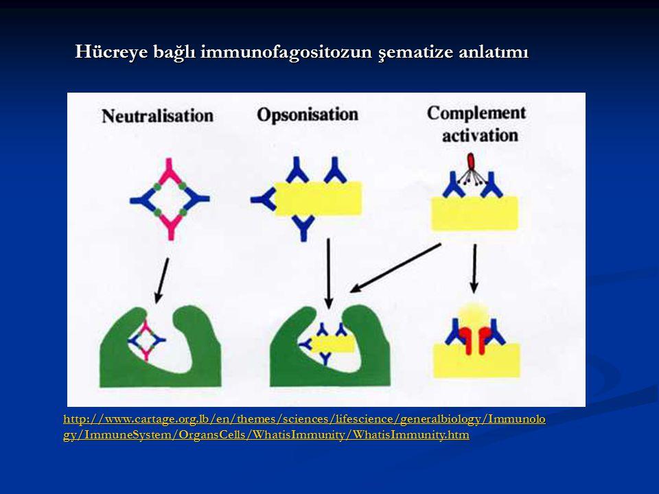 Hücreye bağlı immunofagositozun şematize anlatımı