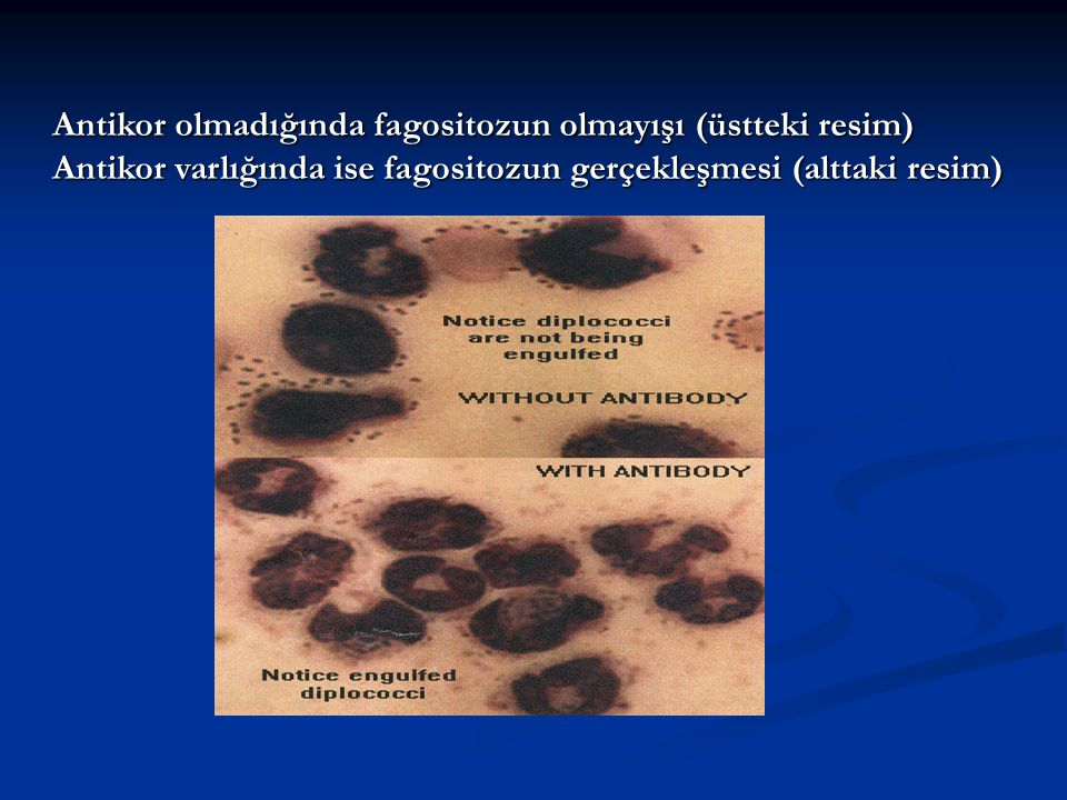 Antikor olmadığında fagositozun olmayışı (üstteki resim)