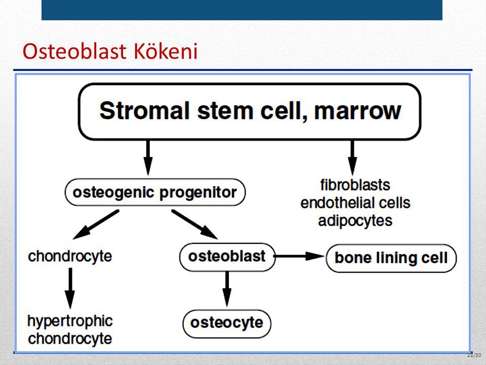 Osteoblast Kökeni