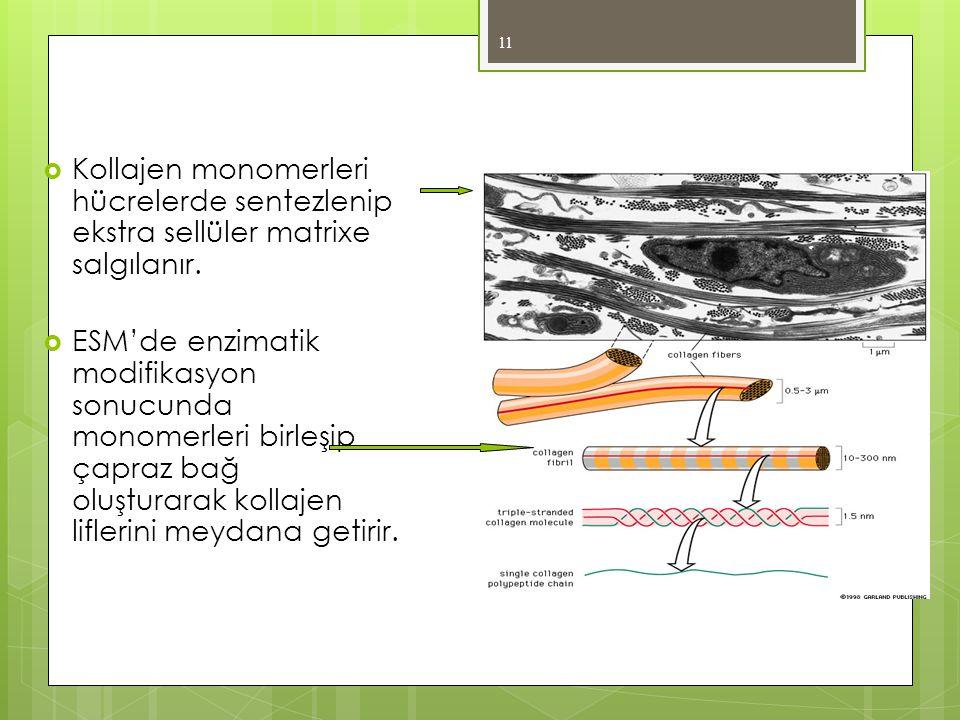 Kollajen monomerleri hücrelerde sentezlenip ekstra sellüler matrixe salgılanır.