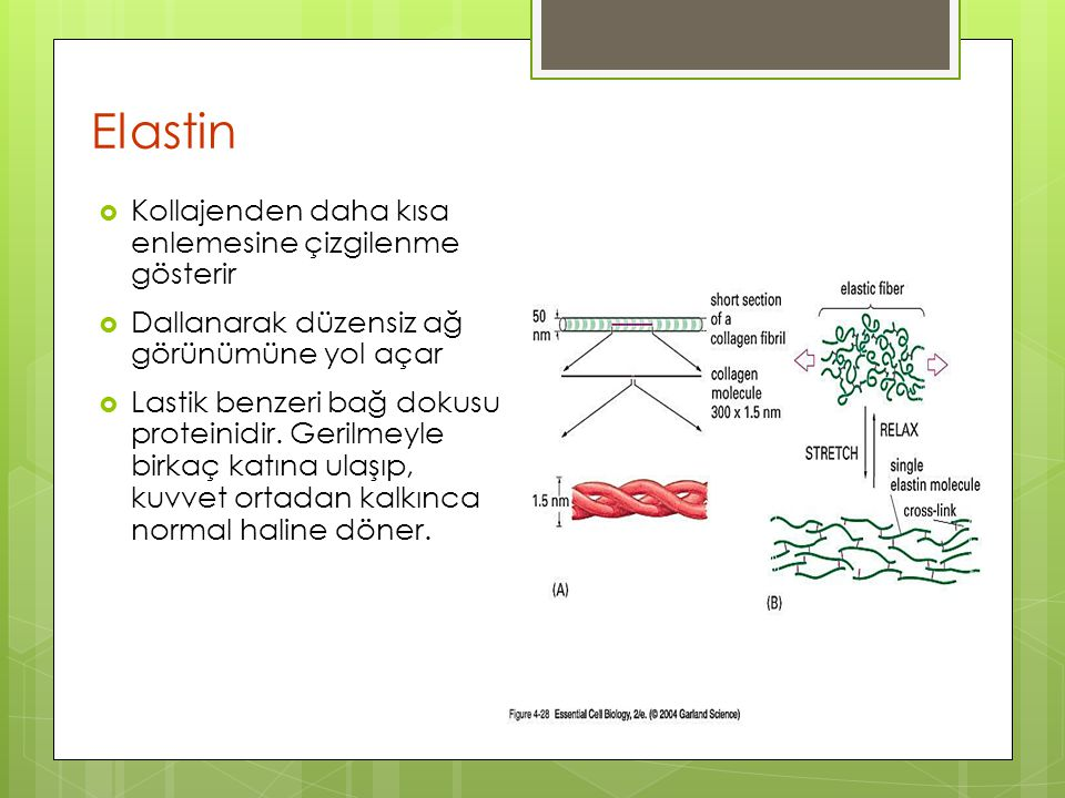 Elastin Kollajenden daha kısa enlemesine çizgilenme gösterir