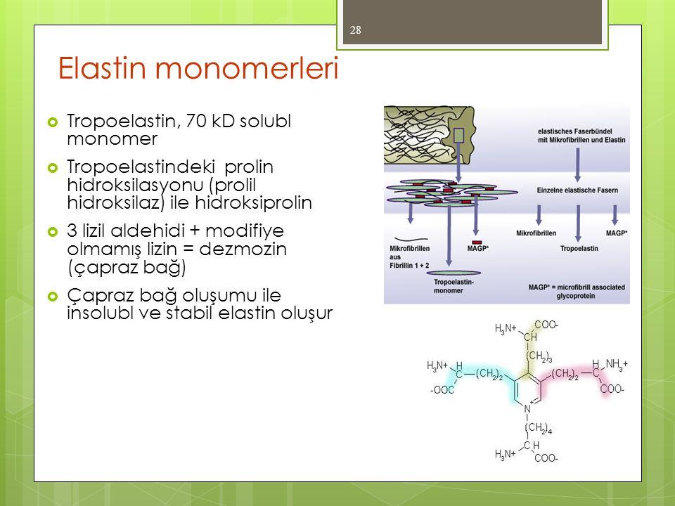 Elastin monomerleri Tropoelastin, 70 kD solubl monomer